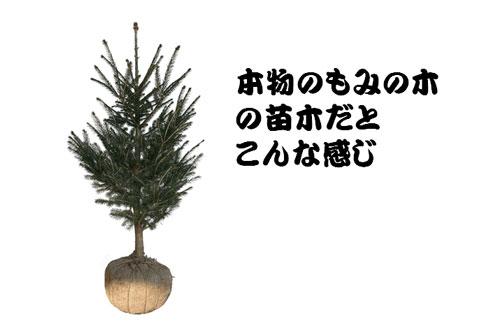 麻の布で根巻きしてあるもみの木